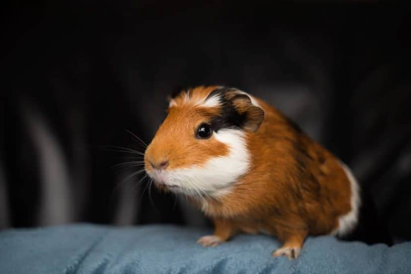 Are Guinea Pigs Nocturnal
