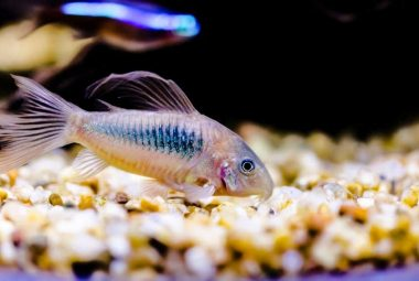 Best Fish For Cleaning Bottom Of Tank